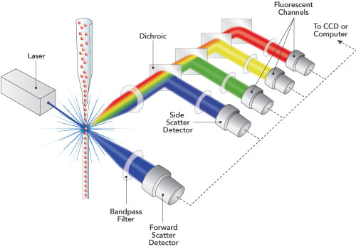 Central Imaging Amp Flow Cytometry Facility Flow